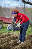 Woman sowing potatoes Stock Image