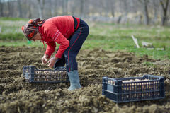 Woman sowing potatoes Stock Photos