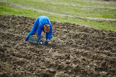 Woman sowing potatoes Royalty Free Stock Photo
