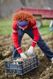 Woman sowing potatoes Royalty Free Stock Photography