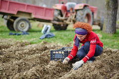 Woman sowing potatoes Royalty Free Stock Images