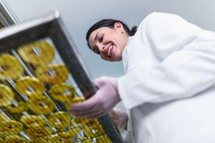 Woman Specialist in Food Quality and Health Control Checking Apples. Woman Specialist Working With Food Drying Chamber Checking Sliced Apples before drying Stock Photography