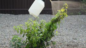 Woman spray plants from pests, insects and diseases plum tree