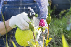 Woman spraying flowers in the garden Royalty Free Stock Image