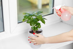 Woman sprays a house plant Royalty Free Stock Image