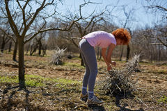 Woman spring cleaning the orchard. Caucasian woman spring cleaning the orchard, gathering cut branches to throw them away Royalty Free Stock Image
