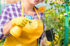 A woman sprinkles with chemicals a flower Royalty Free Stock Image
