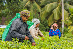 Woman from Sri lanka picking tea leaf on tea plantation Stock Photography