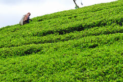 Woman from Sri Lanka picks in tea leaves. Stock Photos