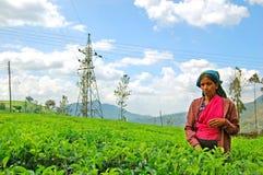 Woman from Sri Lanka picks in tea leaves Stock Photo