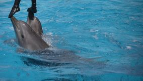 Woman is standing on the noses of two dolphins. Woman stands on the noses of two dolphins and they bring her to the board of the dolphinarium stock video footage