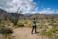 Woman stands in Anza Borrego Desert State Park, facing mountains, in a field of desert wildflowers during super bloom.  royalty free stock image