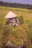 Woman with a stockade of rice. Woman carrying sheaves of rice with a stockade in the rice field Stock Photos