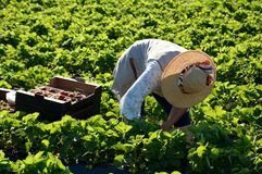 Woman at strawberry harvest Royalty Free Stock Image