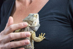 The woman is stroking Agama lizard Stock Image
