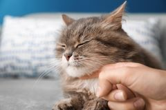 Woman stroking fluffy cat at home stock photography