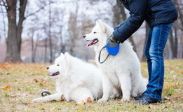 Woman stroking one of samoyed dogs. On a walk in a fall park Stock Photo