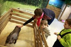 Woman stroking piglet. Woman stroking the piglet in a zoo royalty free stock photography