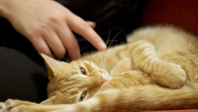 Woman Stroking a Red Cat Lying on the Couch stock footage