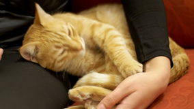 Woman Stroking a Red Cat Lying on the Couch stock video