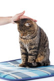 Woman stroking the tabby cat`s head. Isolated on white background Stock Image
