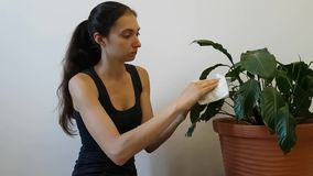 A woman in a t-shirt leads the household. Flower care - wipe with a damp cloth large leaves of the Spathiphyllum. Housewife stock footage
