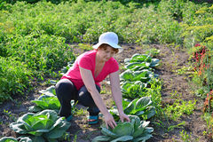 Woman takes care of cabbage in the garden Stock Images