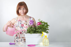 Woman takes care of indoor plants (pelargonium). Stock Photo