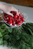 Woman takes her hands fresh radish in a colander. Close-up Royalty Free Stock Photography