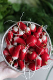 Woman takes her hands fresh radish in a colander. Close-up Stock Image