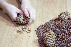 Woman takes nuts from cedar cones Royalty Free Stock Images