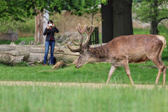 Woman takes photo of wild deer in park. Royalty Free Stock Photos