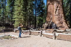 Woman takes a picture of  giant sequoia tree, Sequoia National F Stock Image