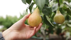 The woman takes a ripe juicy pear in her hand. The female hand touches the fruit on the tree during harvest on an stock video footage