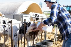 Mature woman taking care of dairy herd in livestock farm Royalty Free Stock Images