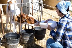 Mature woman taking care of dairy herd in livestock farm. Woman taking care of dairy herd in livestock farm royalty free stock image