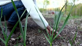 Woman taking care of her garlic plants stock video footage