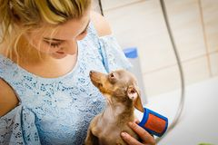 Woman brushing her pinscher dog stock photography