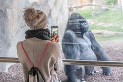 Woman taking photo of a huge silverback gorilla male behind glass in Biopark zoo in Valencia, Spain.  stock image