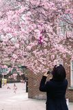 Woman is taking picture of blossoming cherry on mobile phone stock image