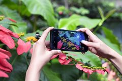 A woman taking a picture of a doris longwing butterfly. A woman taking a picture of a blue doris longwing butterfly that landed on a tropical plant within a stock photo