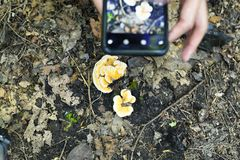A woman taking pictures of mushrooms. A woman holding a mobile phone taking pictures of a small chicken mushroom growing on a branch within Burr Pond state park stock photos