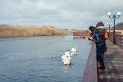 Woman taking pictures on the phone swans at the lake Royalty Free Stock Photography