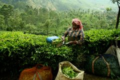Woman at tea plantation Stock Photo