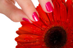 Woman tear of petal from red gerbera Royalty Free Stock Photos