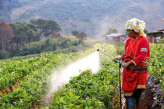 Woman from Thailand  spraying strawberry plant Stock Photography