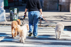 Woman with three dogs Stock Photography
