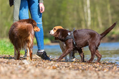 Woman with three dogs at the river Royalty Free Stock Images