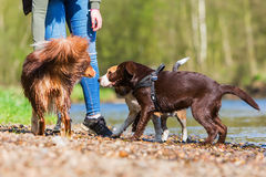 Woman with three dogs at the river. Woman with an Australian Shepherd, a Beagle, and a Labrador puppy at the river Stock Images
