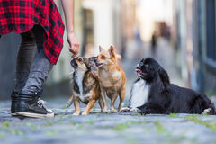 Woman with three small dogs on a cobblestone road Stock Photo